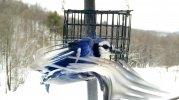 bluejay3.jpg