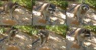 Raccoon_Daytime_M20.jpg